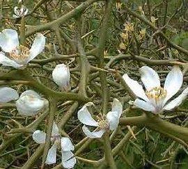 11月15日の誕生花「カラタチ」
