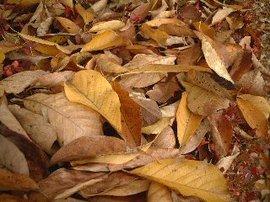 11月30日の誕生花は「枯葉」