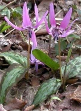 3月24日の誕生花は「カタクリ」