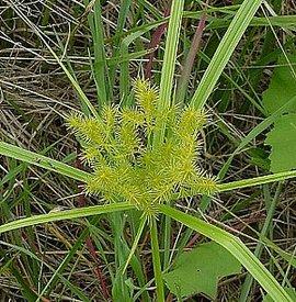 8月30日の誕生花は「カヤツリグサ」