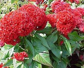 8月24日の誕生花は「ケイトウ」