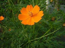 10月2日の誕生花は「キバナコスモス」
