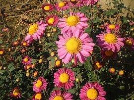 10月1日の誕生花は「紅色のキク」