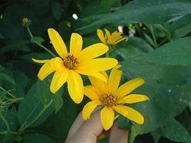 9月26日の誕生花は「キクイモ」