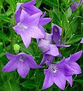 8月28日の誕生花は「キキョウ」