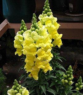 7月2日の誕生花は「キンギョソウ」