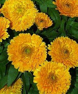 2月13日の誕生花は「キンセンカ」
