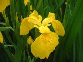4月19日の誕生花は「キショウブ」