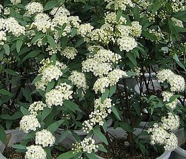 4月2日の誕生花は「コデマリ」