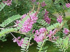 8月17日の誕生花は「コマツナギ」