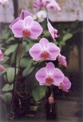 12月26日の誕生花「ピンクのコチョウラン」