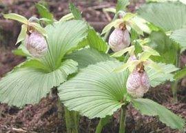 4月13日の誕生花は「クマガイソウ」