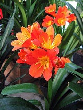 3月5日の誕生花は「クンシラン」