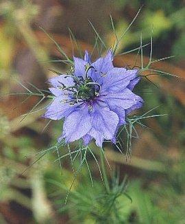 3月31日の誕生花は「クロタネソウ」