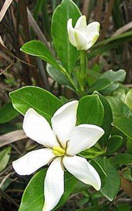 6月28日の誕生花は「クチナシ」