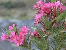 8月9日の誕生花は「キョウチクトウ」