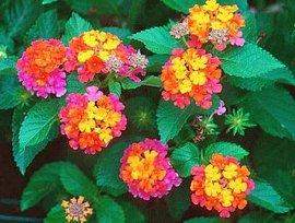 10月3日の誕生花「ランタナ」