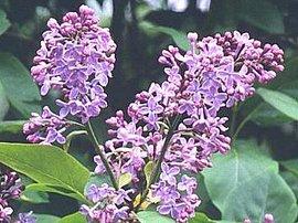 6月12日の誕生花は「ライラック」