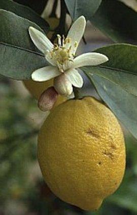 11月12日の誕生花「レモン」