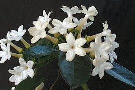 3月21日の誕生花は「マダガスカル・ジャスミン」