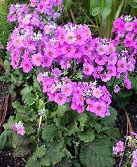 2月12日の誕生花は「プリムラ・マラコイデス」