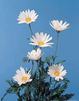 2月1日の誕生花は「マーガレット」