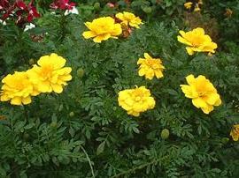 11月7日の誕生花「マリーゴールド」