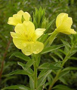 6月21日の誕生花は「マツヨイグサ」