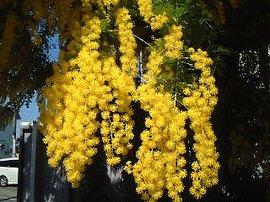 4月9日の誕生花は「アカシア(ミモザアカシア)」