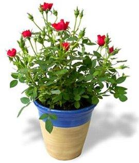10月7日の誕生花は「ミニバラ」