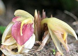 9月2日の誕生花は「ミョウガ」