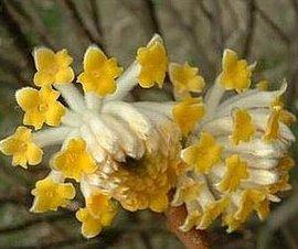 3月20日の誕生花は「ミツマタ」