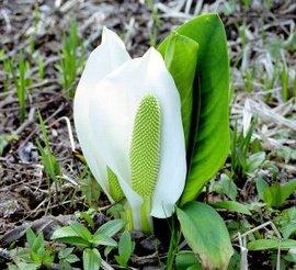 5月3日の誕生花は「ミズバショウ」