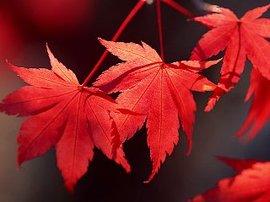 10月3日の誕生花は「モミジ」