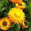 5月24日の誕生花は「ムギワラギク」