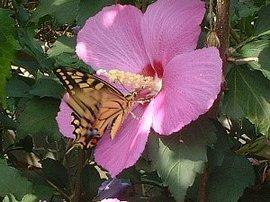 8月26日の誕生花は「ムクゲ」