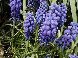 2月26日の誕生花は「ムスカリ」