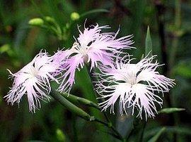 5月29日の誕生花は「ナデシコ」