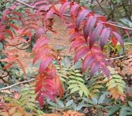 10月20日の誕生花「ナナカマド」