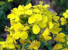 2月6日の誕生花は「ナノハナ」