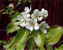 4月30日の誕生花は「ナシ」