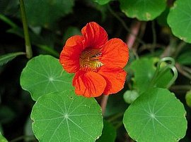 4月6日の誕生花は「ナスタチウム」