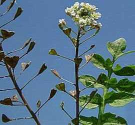 1月17日の誕生花は「ナズナ」
