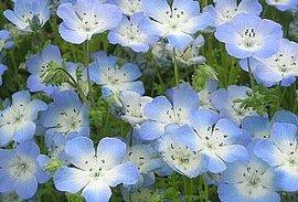 1月28日の誕生花は「ネモフィラ」