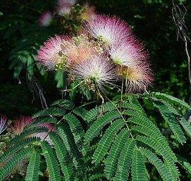 7月15日の誕生花は「ネムノキ」