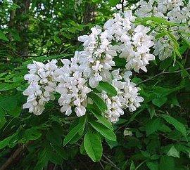 5月11日の誕生花は「ニセアカシア」