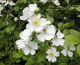 6月9日の誕生花は「ノバラ」