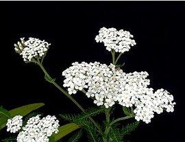 8月2日の誕生花は「ノコギリソウ」