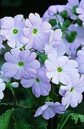 12月19日の誕生花「プリムラ・オブコニカ」