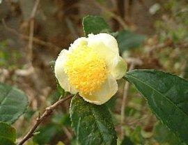 11月29日の誕生花「チャ」
